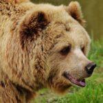 Maksud Mimpi Beruang