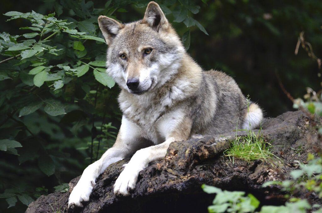 Maksud Mimpi Serigala