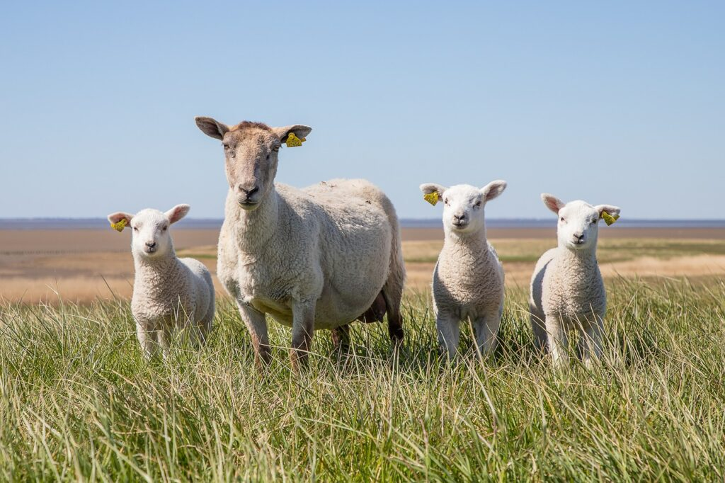 Maksud Mimpi Domba