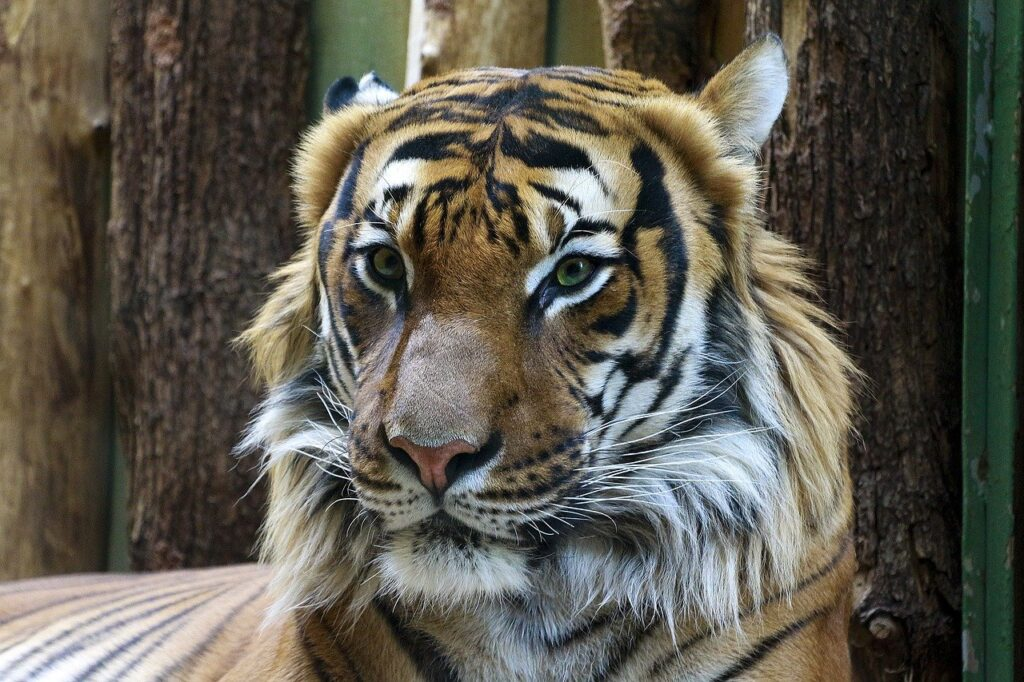 Maksud Mimpi Harimau